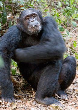 Chimpanzee_Alphatier