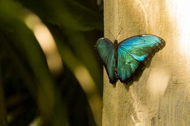 bluebutterfly-web-7215